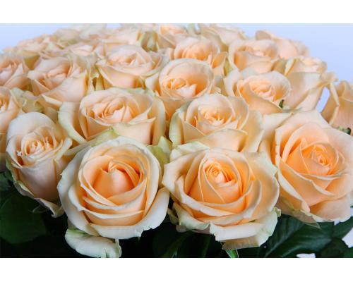 21 кремовая роз Пинч Аваланч