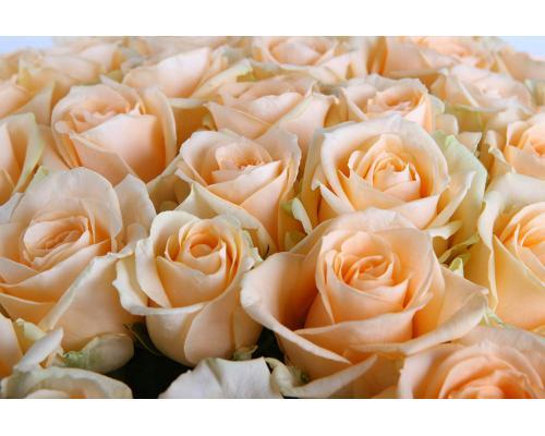 35 кремових троянд Пинч Аваланч