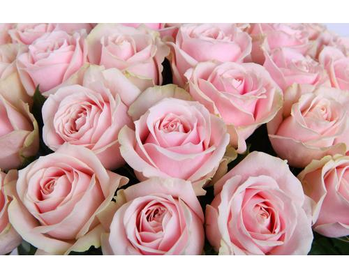 51 нежно розовая роза Марина